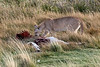 Puma investigating guanaco carcass, Torre del Paine, Patagonia