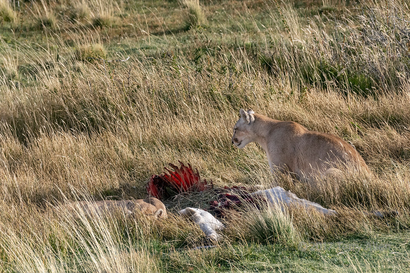 Mother puma and yearling cub at a guanaco carcass, late afternoon, Lago Sarmiento, Patagonia