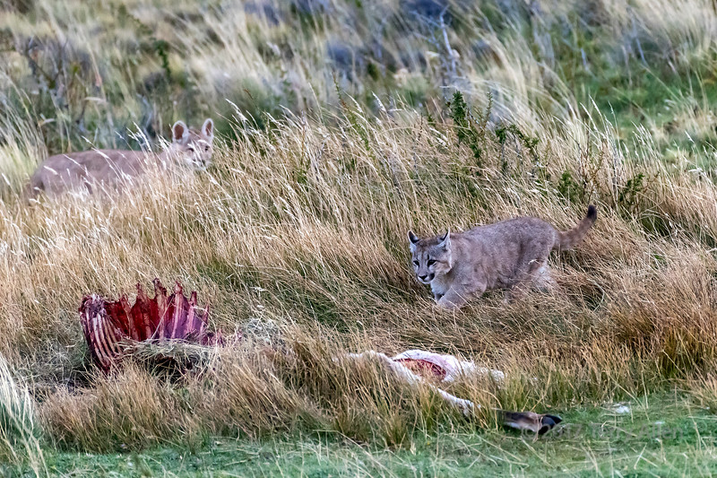 Puma kittens at dusk approaching a guanaco carcass, Lago Sarmiento, Patagonia