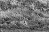 Three puma kittens at a guanaco carcass in the evening, BW, Lago Sarmiento, Patagonia