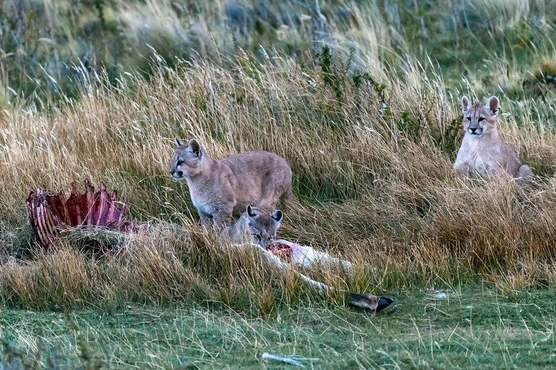 Three puma kittens at dusk coming to a guanco carcass for dinner, Lago Sarmiento, Patagonia