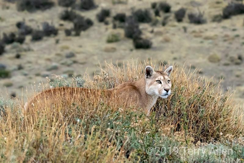 Female puma on a hill top near Lago Amarga, Torres del Paine, Patagonia