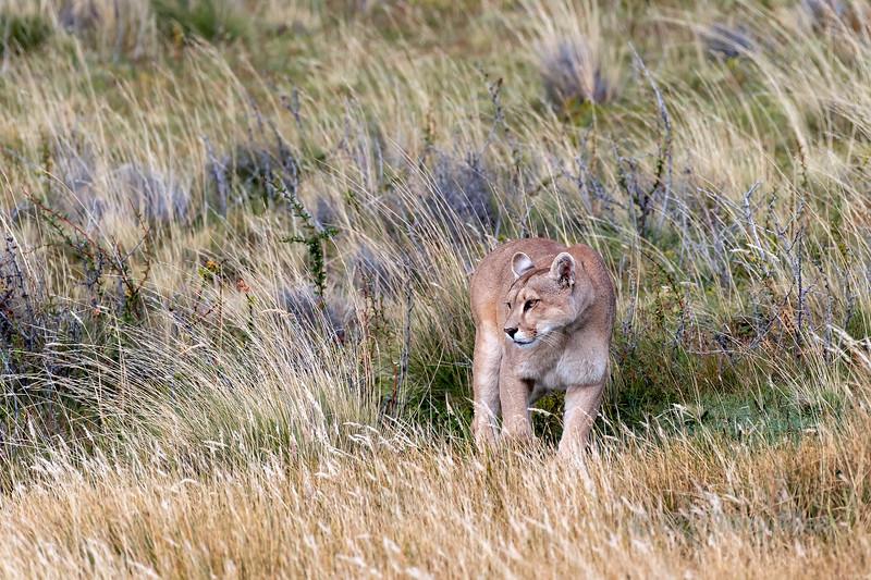 Puma in the grasses near a guanaco carcass, Lago Sarmiento, Patagonia