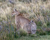 Alert mother puma and kitten in the evening in the pampas near Lago Sariento, Patagonia