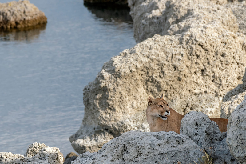 Mother puma in the tufa rocks, Lago Sarmiento, Patagonia
