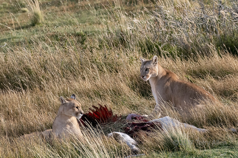 Mother puma and last year's cub with a guanaco carcass, Lago Sarmiento, Patagonia
