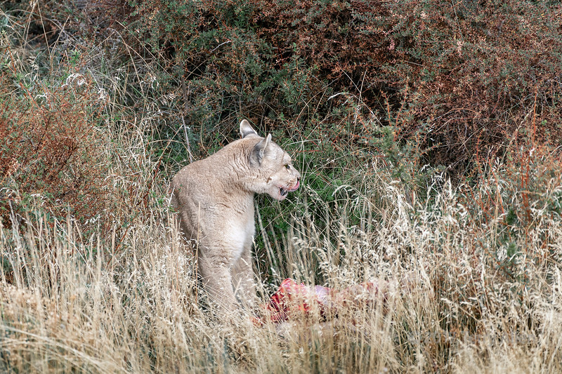 Time out for a quick grooming, puma with her kill in the bushes, Torres del Paine, Patagonia