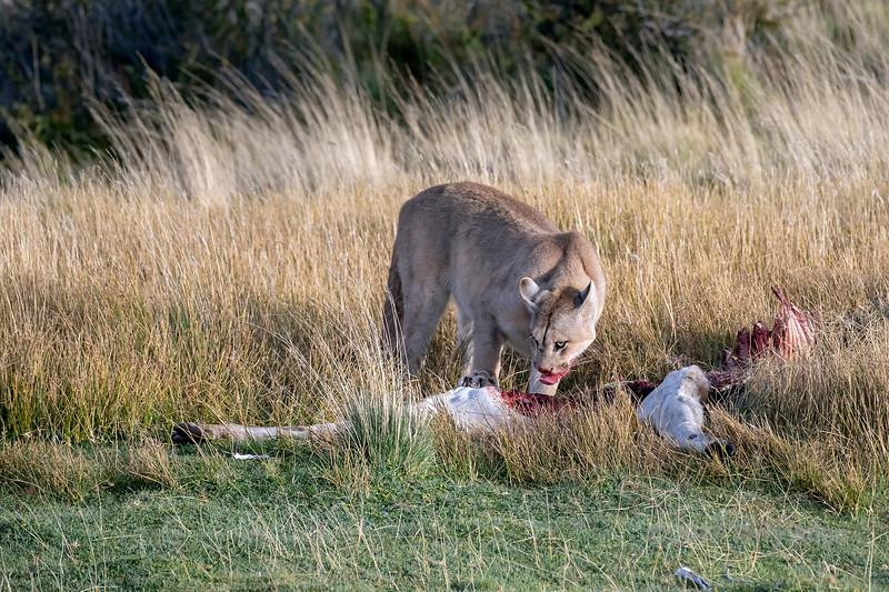Puma with bloody muzzle feeding on a guanco carcass, Lago Sarmieto, Patagonia