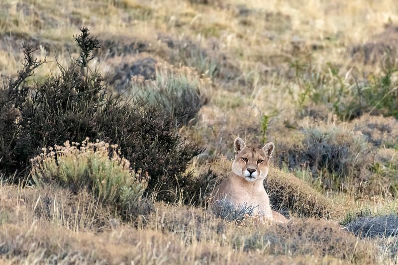 Female puma sees phographer as possible prey, Lago Sarmiento, Patagonia