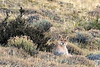 Female puma sees phographer as possible prey, Lago Sarmiento, Patagonia