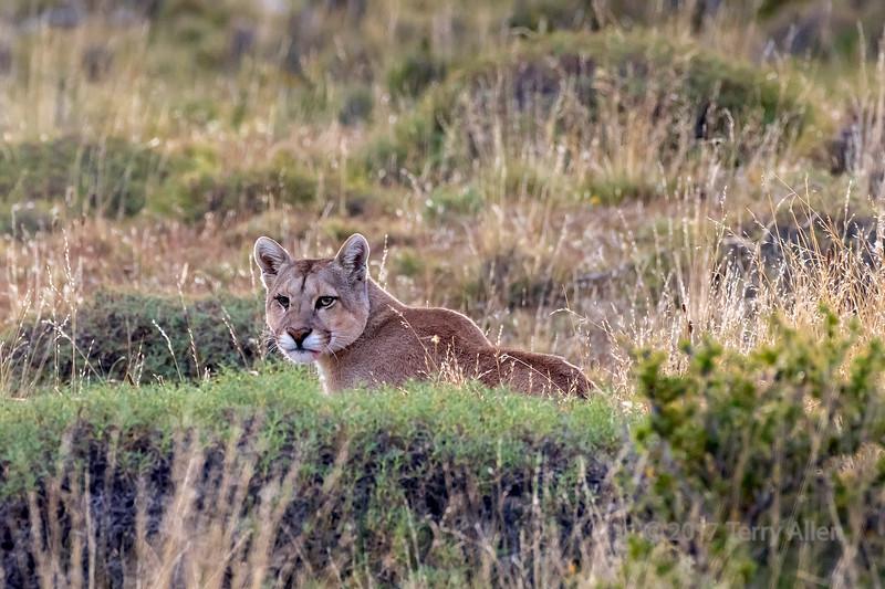 Puma in ambush, Lago Sarmiento, Patagonia
