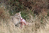 Puma feedng on a guanco carcass in the bush, Torres del Paine, Patagonia
