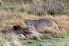 Puma (Puma concolor concolor) pulling at a guanco carcass, Lago Sarmiento, Patagonia
