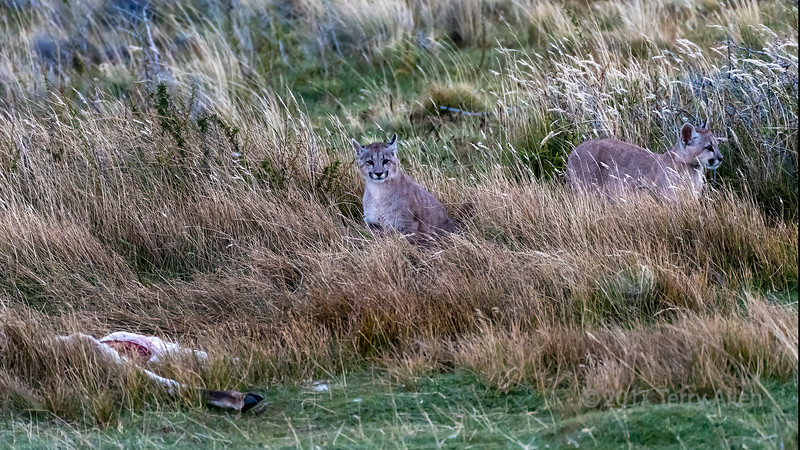 Pair of puma kittens by a guanaco carcass at dusk, Lago Sarmiento, Patagonia
