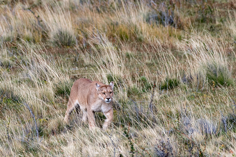 Puma walking though the tall grasses on her way to a carcass, Lago Sarmiento, Patagonia