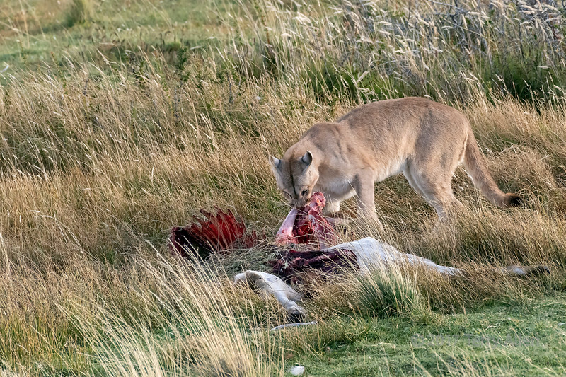Puma pulling at a guanaco carcass, Torre de Paine National Park, Pategonia