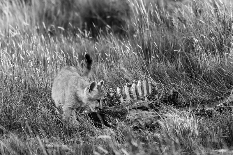 Puma kitten investigating the remains of a guanaco, Lago Sarmiento, Patagonia