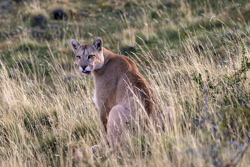 Puma resting in the tall grass after feeding on a guanaco carcass, Lago Sarmineto, Patagonia