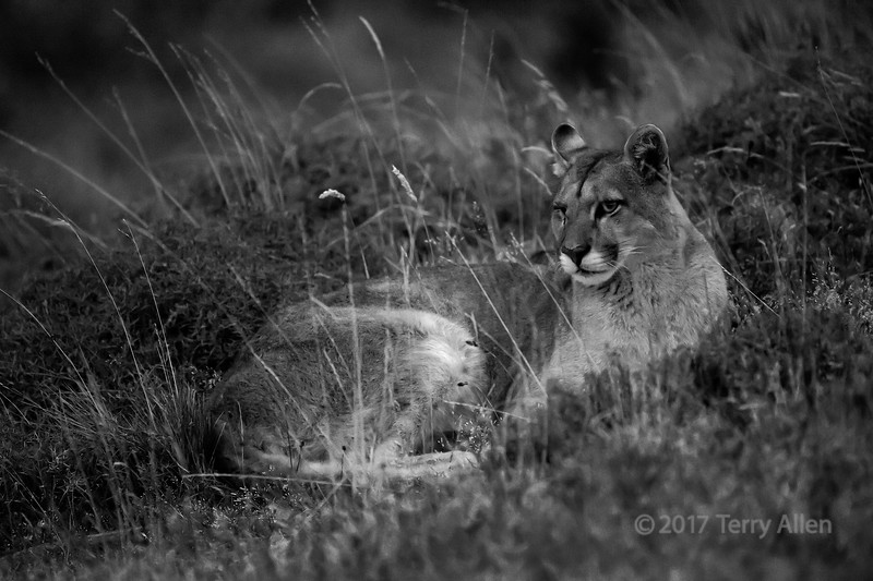 Young puma yearling in the tall grasses at night, BW, Lago Sarmiento, Patagonia