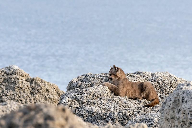 Puma cub near its den in the calcium carbonate microbialites at Lago Sarmieneto, Torres del Paine, Patagonia