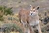 Surprise encounter, female puma, Torres del Paine, Patagonia