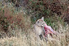 Female puma with a safe spot in the bushes for her guanaco carcass, Torres del Paine, Patagonia