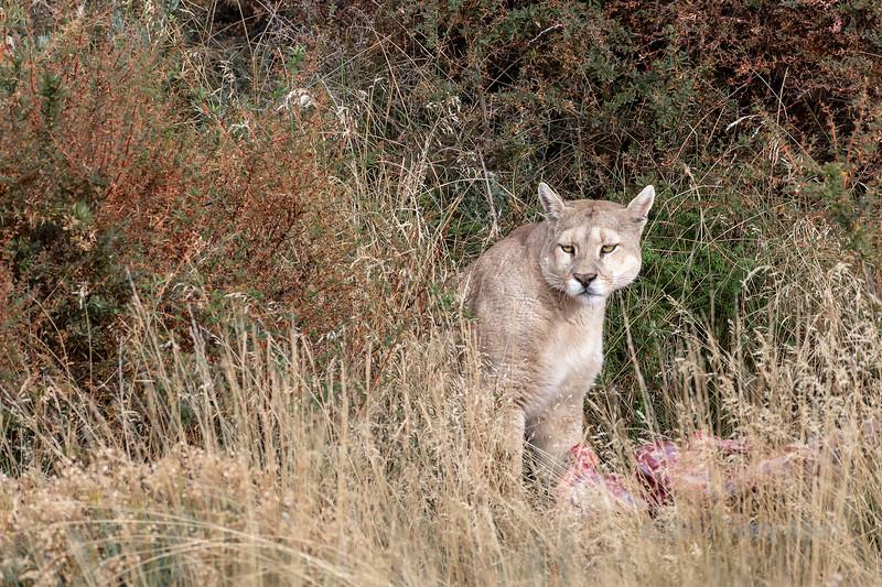 Puma in the bush guarding her guanaco kill, Torres del Paine, Patagonia