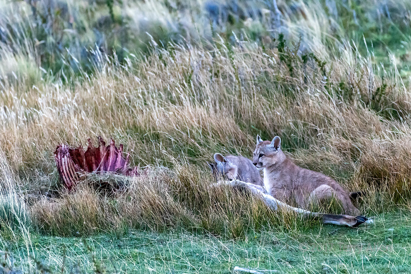 Puma cubs feeding on a guanaco carcass, evening, above Lago Sarmiento, Patagonia