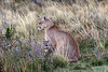 Mother puma with kitten in the late evening in the pampas vegatation near Lago Sarmiento, Patagonia
