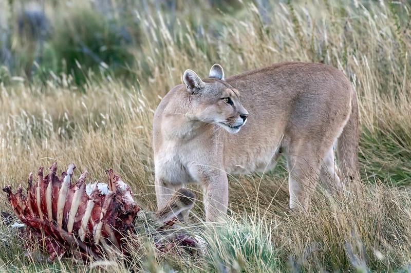 Female puma visiting her kill iln the evening, Lago Sarmiento, Patagonia