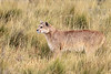 Alert puma near her guanco carcass in the long dried grasses, Torres del Paine, Patagonia
