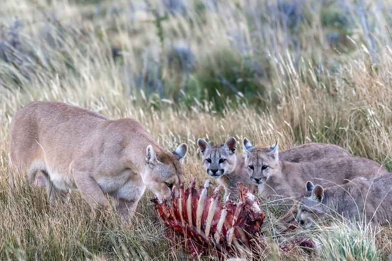 Mother puma brings her three kittens in the evening to her guanaco carcass, Lago Sarmiento, Patagonia