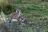 Puma kittens wrestling near dark, Lago Sarmiento, Patagonia