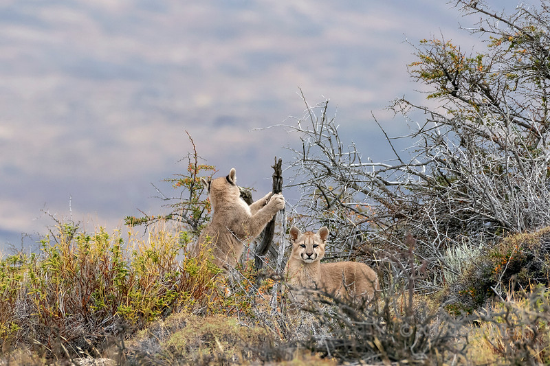 Pair of puma kittens playing in the thorn bush, Lago Sarmiento, Patagonia
