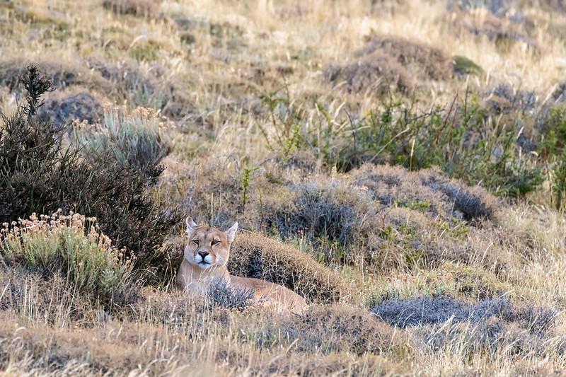 Alert female puma waiting in ambush, Lago Sarmiento, Patagonia