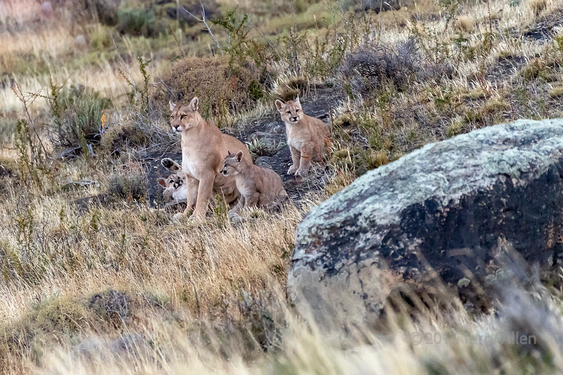 Mother puma and her three cubs at dusk on the way to a guanaco carcass, Lago Sarniento, Patagonia