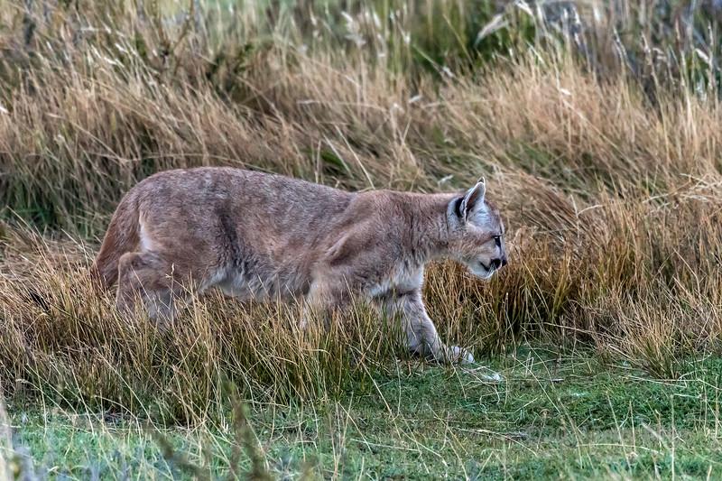 Puma kitten near dark in long grass, Lago Sarmiento, Patagonia