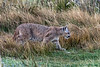 Puma kitten near dark in long grass, Lago Sarmiento, Patagonia