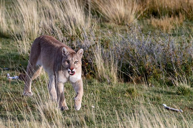 Puma walking through the tall grasses, Lago Sarmiento, Patagonia