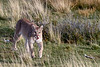Puma walking through the tall grasses, Lago Sarmiento, Patagonia