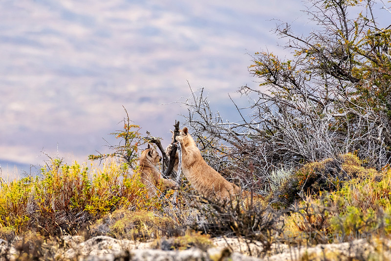 Pair of puma kittens playing with dead branches in the thorn bush, Lago Sarmiento, Patagonia