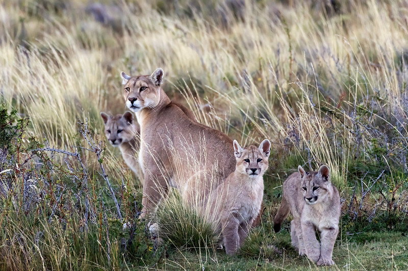 Mother puma with 3 kittens, Torres del Paine NP, Chile