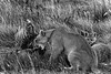 Mother puma and kitten getting last feed from a guanaco carcass at nightfall, Lago Sarmiento, Patagonia