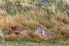 Puma cubs by guanaco kill, Torres del Paine, Patagonia, Chile