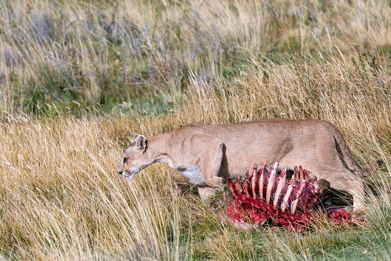 Puma 'burying' the eaten over remains of a guanaco carcass, Lago Sarmiento, Patagonia