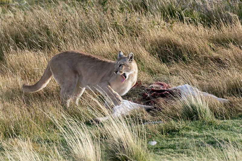 Puma at a guanaco carcass with its long tongue out, Lago Sarmiento, Patagonia