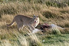 Puma at a guanaco carcass with its long tongue out, Lago Sarmiento, Patagonia
