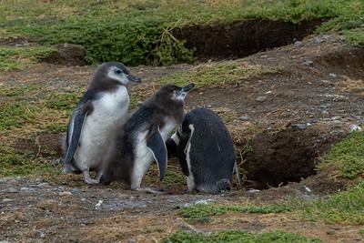 Punta Arenas, Magdalena Island Penguins