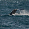 Southern Right Whale at Puerto Piramides, Argentina