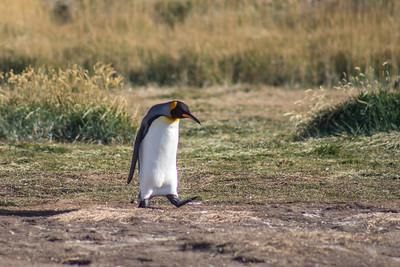 Rey Penguino